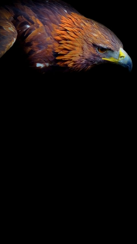 Eastern Imperial Eagle Wallpaper Phone Planet12suncom